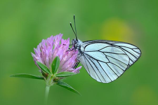 Black-veined White Aporia-crataegi