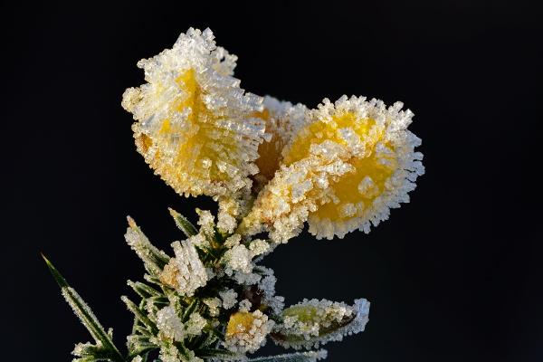 Flowering Gorse