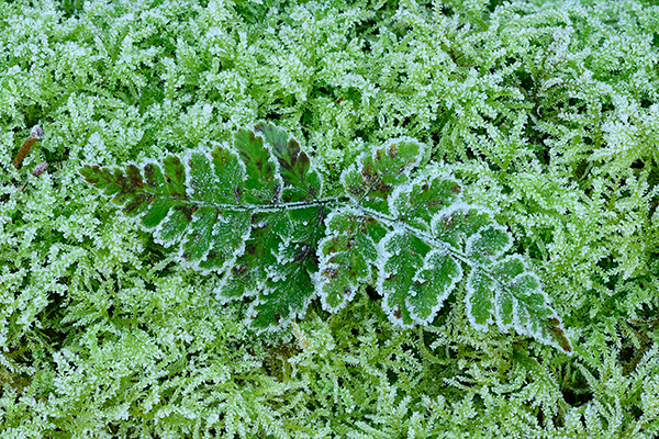 Frosted Fern Leaves