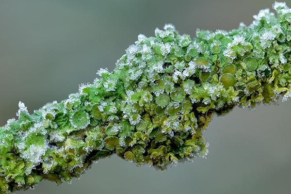 Frosted Lichen Apothecia
