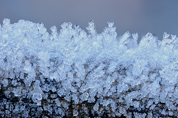 Frost on Bulrush