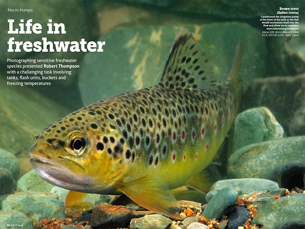 Brown Trout Salmo truth
