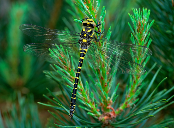 Golden-ringed Dragonfly Cordulegaster boltonii (female)