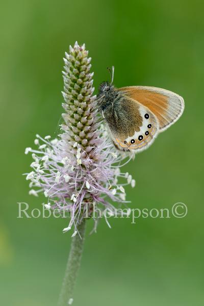 Alpine Heath Coenonympha gardetta