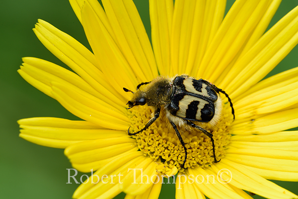 Bee Beetle Trichius fasciatus