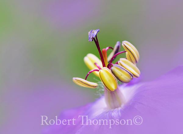 Dusky Cranesbill Geranium phaeum