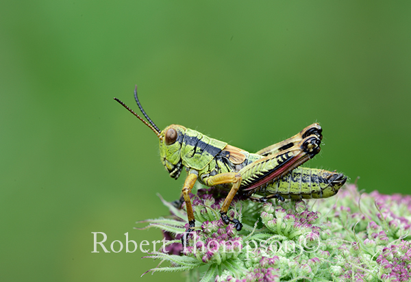 Green Mountain Grasshopper Miramella alpina