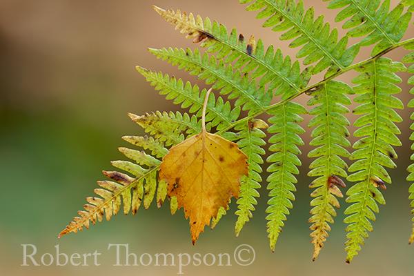 Bracken with fallen birch leaf