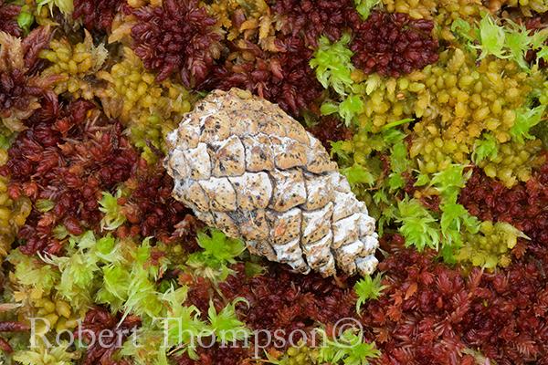 Fallen Pine cone among sphagnum