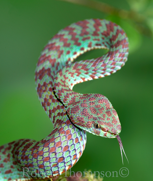 Beautiful Pit Viper Trimeresurus venustus