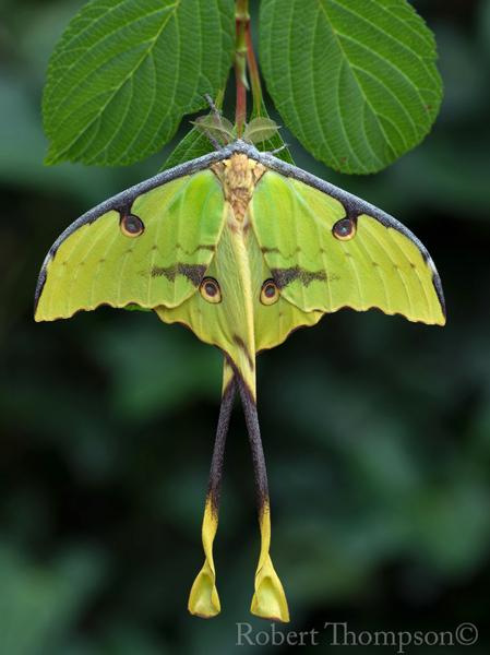Argema mimosae African Moon Moth