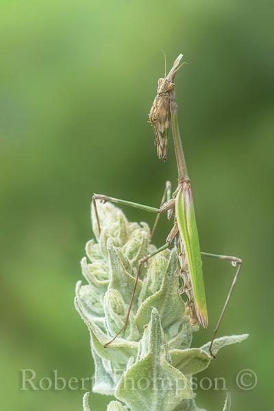 Praying Mantis Mantis religosa