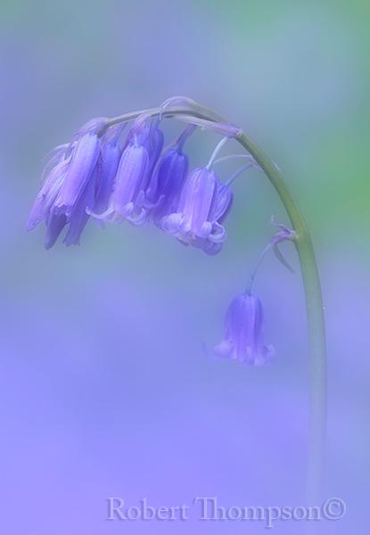 Bluebell Hyacinthoides non-scripta